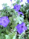 Petunias_on_the_porch